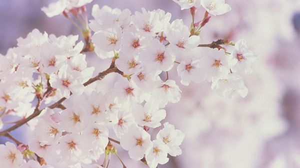 click to free download the wallpaper--Free Download Natural Scenery Picture - White Blooming Cherry Flowers, Mere Scene, They Seem As if Smiling