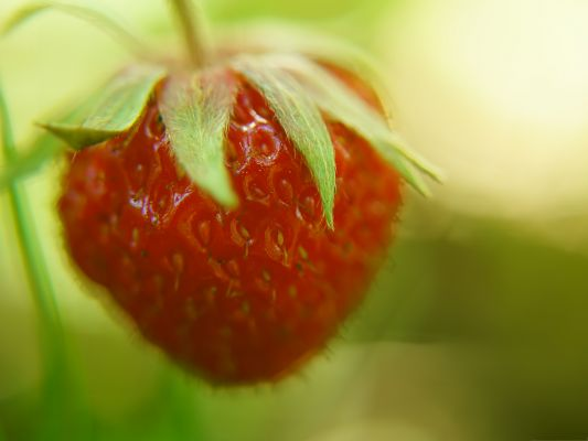 click to free download the wallpaper--Free Fruit Wallpaper, Red Strawberry, Time to be Picked Up