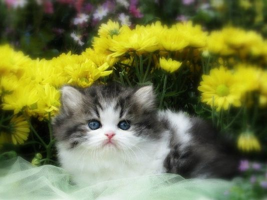 Free Pics of Kitten, the Little Cutie is in Innocent Eyesight, She is Like a Fur Ball