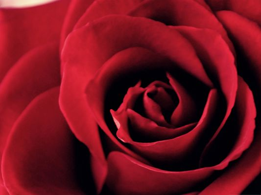 click to free download the wallpaper--Free Wallpaper Background, Blooming Red Rose, Incredible Look