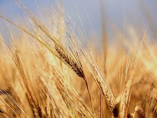 click to free download the wallpaper--Free Wallpaper Background, Golden Wheats Under the Blue Sky, Nice Growth