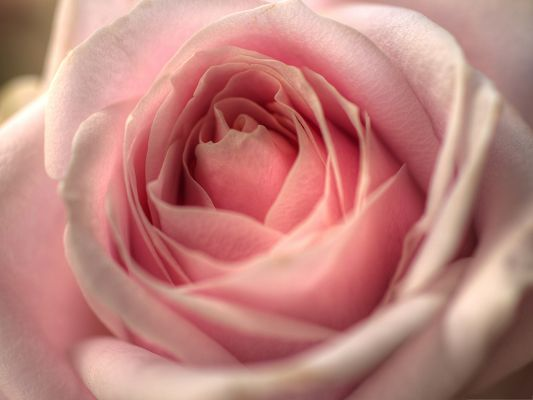 click to free download the wallpaper--Free Wallpaper Background, Pink Rose in Blossom, Sweet and Romantic Love