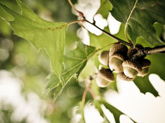 click to free download the wallpaper--Free Wallpaper Backgrounds, Acorns in Great Growth, Summer Scenery