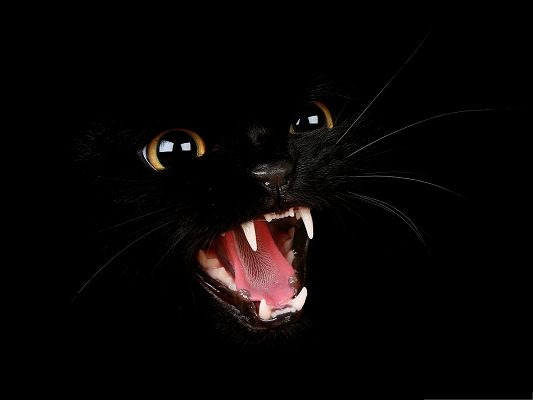Free Wallpaper Backgrounds, Bad Black Kitty Screaming, Want to Bite?
