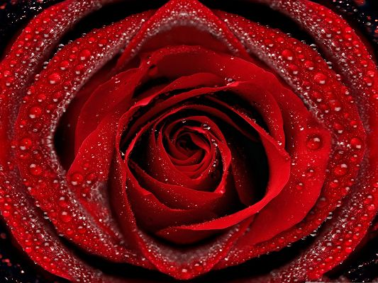 click to free download the wallpaper--Free Wallpaper Backgrounds, Dew On Red Blooming Rose, Enthusiastic Love