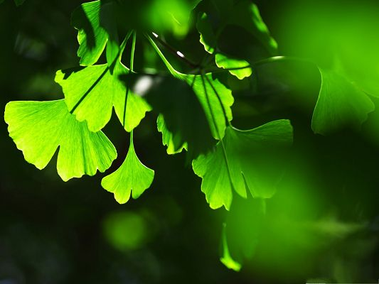 click to free download the wallpaper--Free Wallpaper Backgrounds - Ginkgo Leaves Under Sunshine