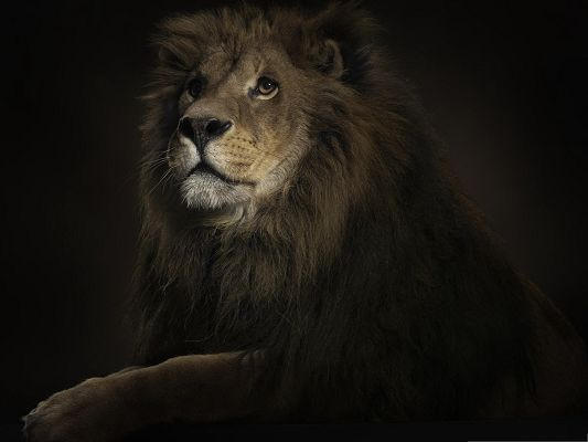 click to free download the wallpaper--Free Wallpaper Backgrounds, Lion King, Decent and Imposing