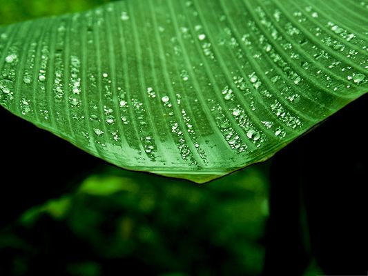 click to free download the wallpaper--Free Wallpaper Backgrounds, Wet Banana Tree Leaf, Clean and Green Scenery