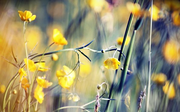 click to free download the wallpaper--Free Wallpaper Backgrounds, Yellow Buttercups All Smiling, Be Happy Like Them!