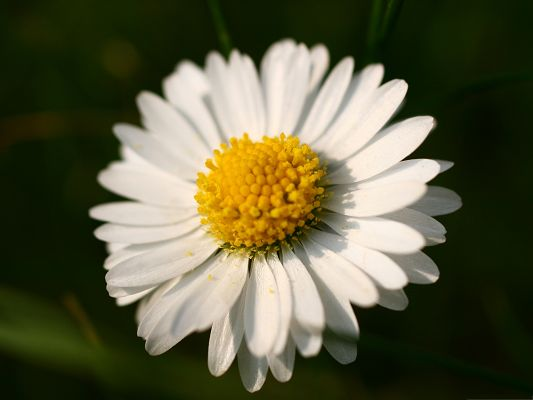 click to free download the wallpaper--Free Wallpaper for Computer, White Blooming Daisy on Dark Background, Gains the Most Attention
