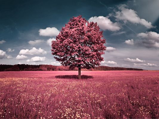 Free Wallpapers and Backgrounds, the Pink Field and Tall Tree, Romantic Place