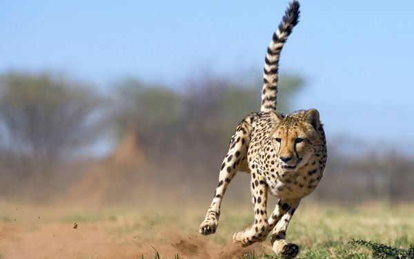 Free Scenery Wallpaper - A Running Cheetah in Full Speed!