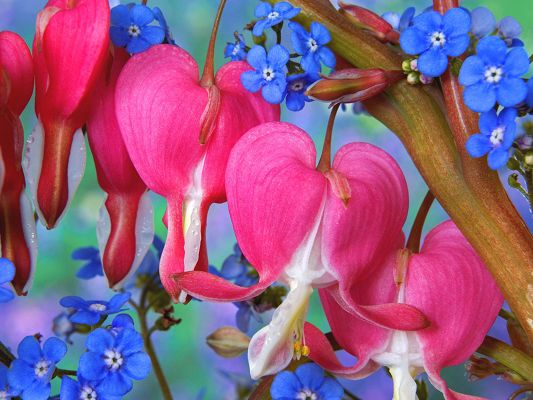 Free Scenery Wallpaper - Includes Bleeding Heart Flowers, Fit For Anyone in Love!,click to download