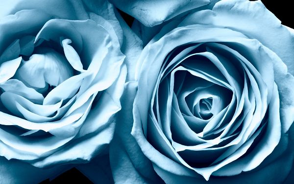 Free Scenery Wallpaper - Includes Blue Roses, A Must Have for Anyone in Love!,click to download