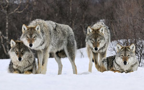 Free Scenery Wallpaper - Includes Four Gray Wolves, Touching You a Lesson!
