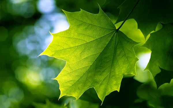 Free Scenery Wallpaper - Includes Green Leaves, Doing Good to the Protection of the Eyes!