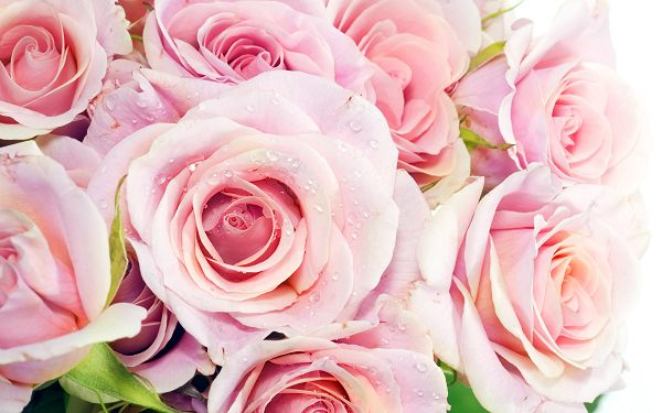 Free Scenery Wallpaper - Includes Pink Roses, What Admirable Love!