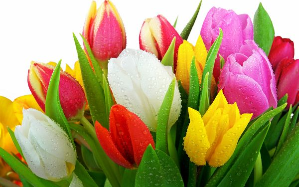 Free Scenery Wallpaper - Includes Several Tulips, Fresh and Colorful!