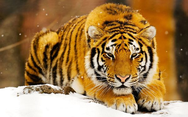 Free Scenery Wallpaper - Includes Siberian Snow Tiger, Making Your Device More