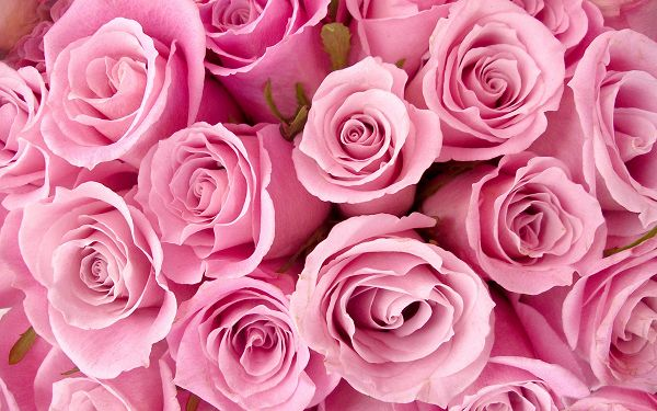 Free Scenery Wallpaper - Includes Special Pink Roses, Making Your Digital Device Look Good!