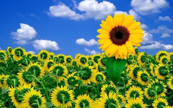 Free Scenery Wallpaper - Includes Sunflowers, Can They Brighten Your Day?