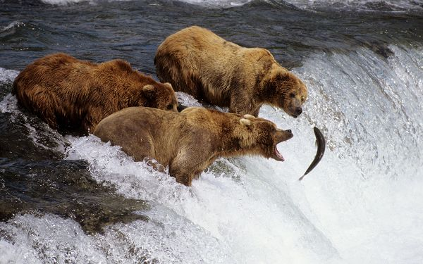 Free Scenery Wallpaper - Includes Three Brown Bears, a Poor Fish is Right in Front of Them!