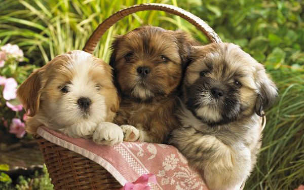 Free Scenery Wallpaper - Includes Three Cute Puppies, Which One Do You Like the Best?