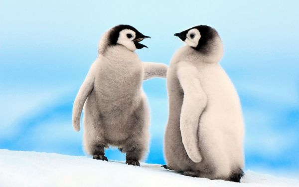 Free Scenery Wallpaper - Includes Two Emperor Penguins, What an Interesting Scene!