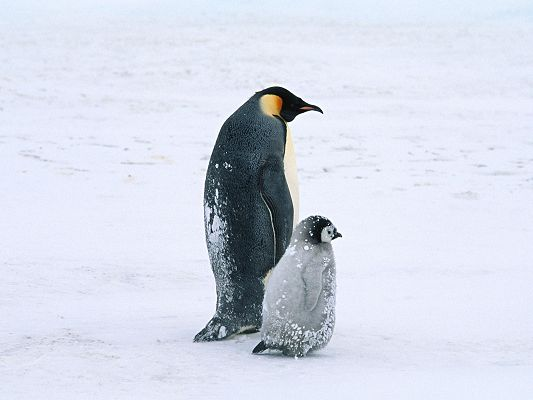 Free Scenery Wallpaper - Includes Two Penguins, Makintg One Appreciate Love of Parents!,click to download