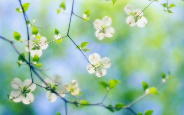 Free Scenery Wallpaper - Includes White Dogwood Blossoms, Making One Feel Loved and Cared for!