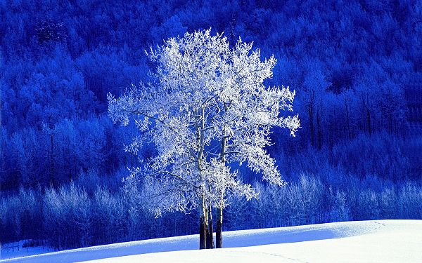Free Scenery Wallpaper - Includes a Frosted Aspen Tree, Decent and Leading!