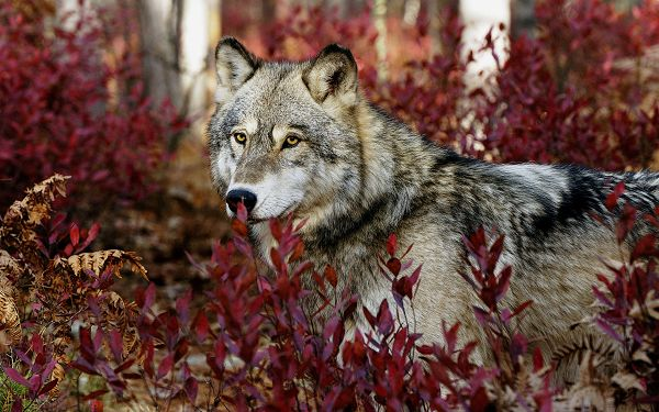 Free Scenery Wallpaper - Includes a Gray Wolf, Making Your Device More Appealing!