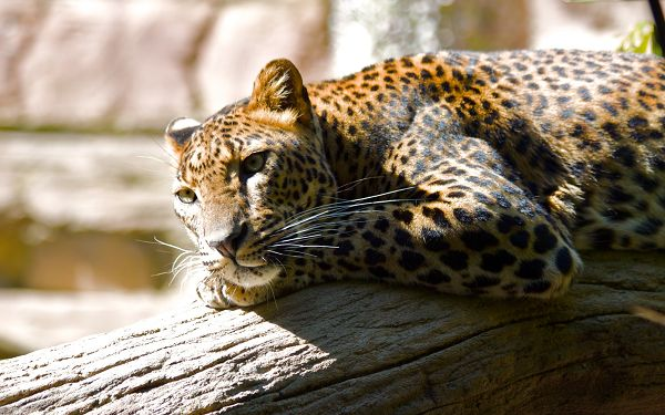 Free Scenery Wallpaper - Includes a Leopard, Peaceful and at Ease!,click to download