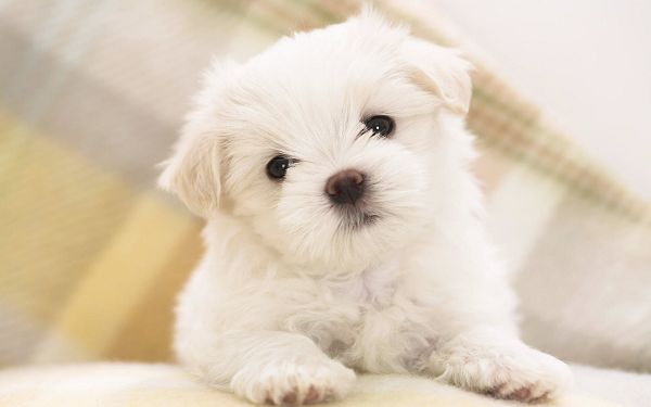 Free Scenery Wallpaper - Includes a Maltese Puppy, Cute Enough to Strike a Deep Impression!,click to download