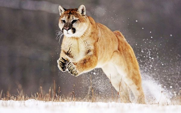 Free Scenery Wallpaper - Includes a Mountain Lion, What a Brave and Determined One!