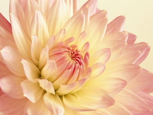 Free Scenery Wallpaper - Includes a Pale Pink and Yellow Dahlia, Making One Feel Hope and Prosperity!