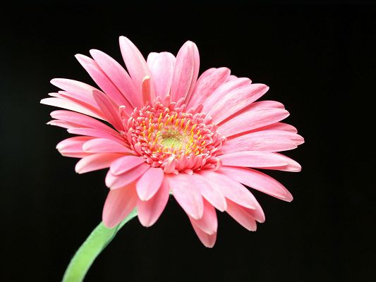 Free Scenery Wallpaper - Includes a Pink Daisy in Full Bloom, Supposed to Look Good on Any Device!,click to download