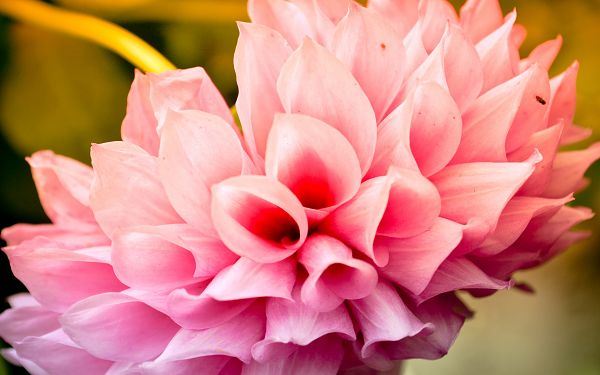 Free Scenery Wallpaper - Includes a Pink Flower, Boasting of Its Incredible Beauty!