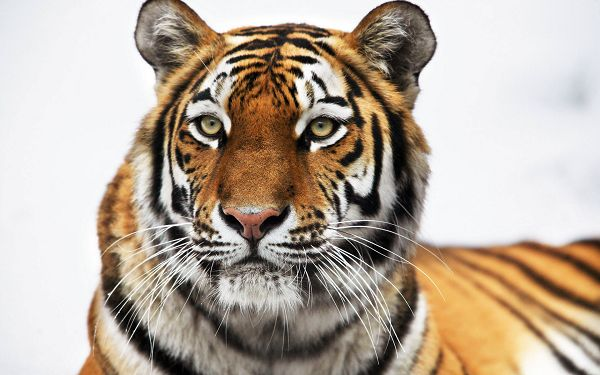 Free Scenery Wallpaper - Includes a Siberian Tiger, Much Respected!,click to download
