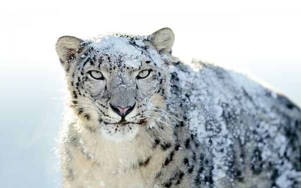 Free Scenery Wallpaper - Includes a Snow White Leopard, Making Your Device Impressive and