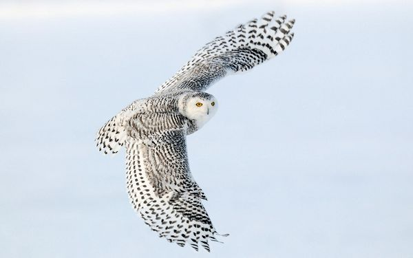 Free Scenery Wallpaper - Includes a Snowy Owl, Is He Surprised Someone Is Giving Him a Shot?,click to download