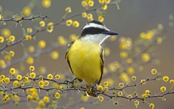 Free Scenery Wallpaper - Includes the Scene of Great Kiskadee Texas, So Much Appealing!