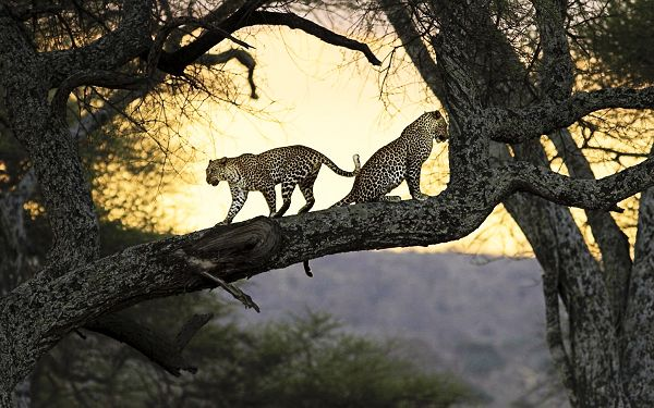 Free Scenery Wallpaper - Love is Sometimes Painful, Even for Leopards!,click to download