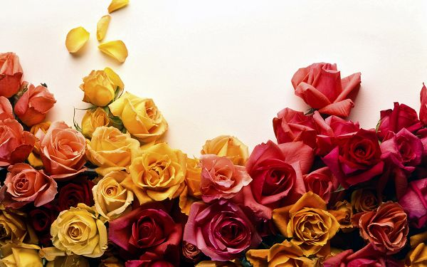 Free Scenery Wallpaper - Makes One Appreciate the Beauty and Color of Roses!