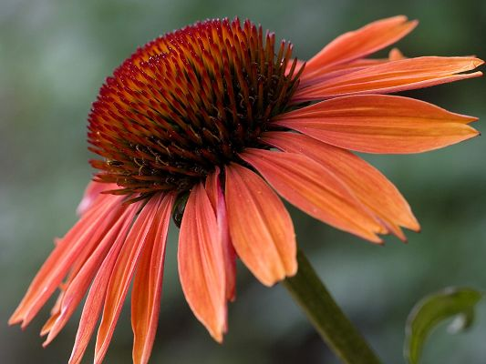 Free Scenery Wallpaper - Shows Echinacea Sundown, Looking Good on Any Digital Device!,click to download