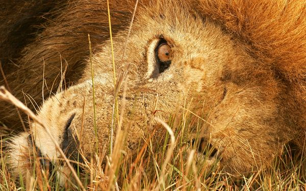 Free Scenery Wallpaper - Shows the Eyes of the Lion, Are You Scared?,click to download