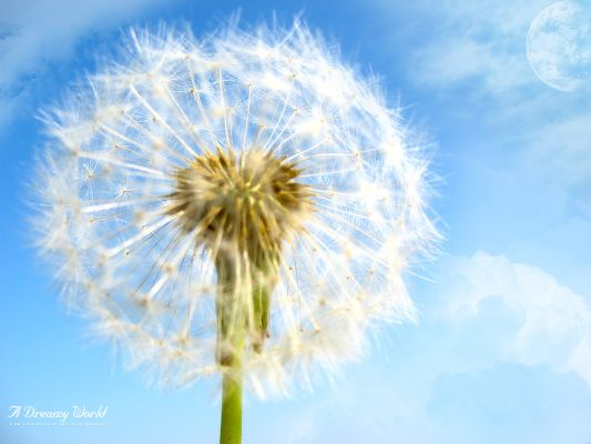 Free Scenery Wallpaper - The Dandelion that Broadcasts Hope!,click to download