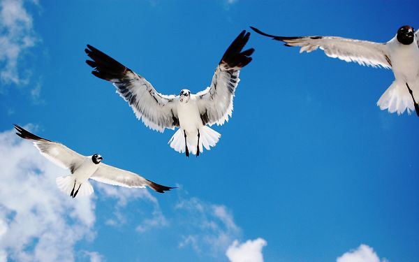 Free Wallpaper - Includes 3 Birds in Free Flying, Nothing Can Stand in Their Way!