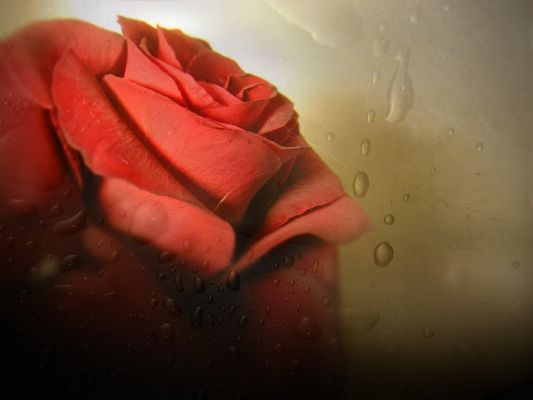 Free Wallpaper - Includes a Red Rose, Is It Crying? ,click to download