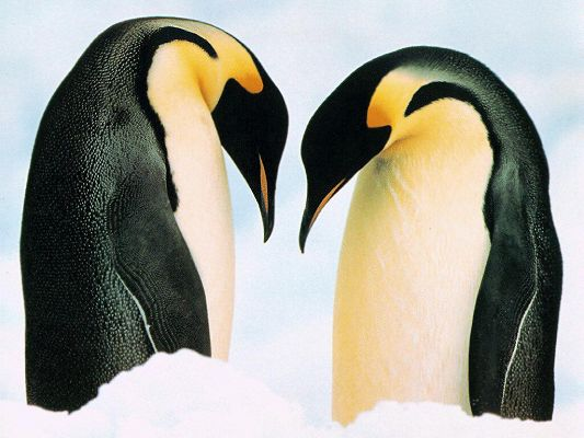 Free Wallpaper of Two Penguins